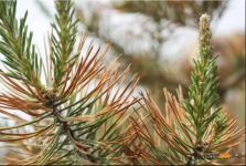 В Павлодарской области готовятся массово высаживать сосны