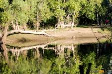 Почему в Павлодаре так много аварийных деревьев, рассказала биолог