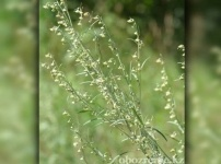 В Павлодаре начали цвести аллергенные растения и самый опасный вид - полынь
