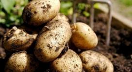 Летом местную уже хранить нельзя: почему павлодарская картошка в июне становится золотой