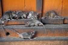 В Китае мясо крыс продавали под видом говядины