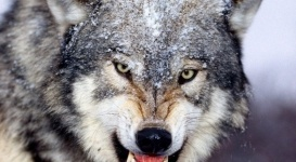 Жительница ВКО при помощи кухонного ножа отбила мужа от нападения волка