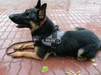 Служебный пес по горячему следу вывел павлодарских полицейских на вора