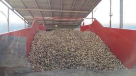 В Качирском районе собрали рекордный урожай картошки