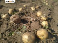 Пользователей соцсетей переполошили горы нового урожая, который выкинули крестьянские хозяйства Павлодарской области