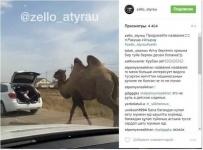 """Тащивший """"на буксире"""" верблюда ребенок в багажнике рассмешил соцсети (фото)"""