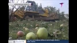 Алматинцы выступили против вырубки яблоневых садов