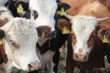 Серийного скотокрада задержали полицейские Павлодарской области