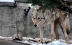 Волки и лисы, появлявшиеся этой зимой в селах Павлодарской области, стали причиной регистрации бешенства у животных