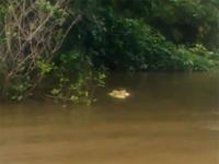 Крокодил Майкл Джексон съел рыбака в Австралии