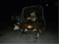 Полицейские задержали скотокрадов