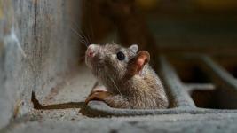 Крысы атаковали павлодарскую многоэтажку