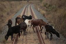 Очередные 8 коров стали жертвами безответственности хозяев в Майском районе
