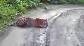 Амурская тигрица вышла на дорогу послушать музыку