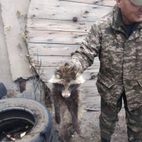 Павлодарские лесники отвезли в пойму спасенную от стаи псов енотовидную собаку