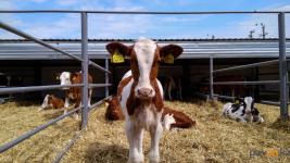 В результате пересадки эмбрионов в Павлодарской области получают телят от лучших коров