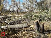 Неизвестные незаконного срубили более 100 деревьев в Павлодаре