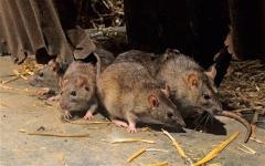 Крысиная анархия
