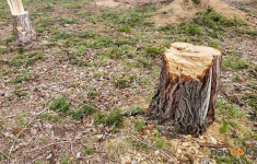 Павлодарская область находится в антилидерах по вырубкам деревьев