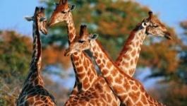 Ученые: в Павлодаре обитали жирафы