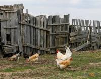 Павлодарским фермерам предложили извлекать прибыль из куриного помета