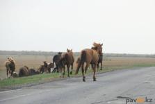 Владелец крестьянского хозяйства в Павлодарской области возместил государству 350 тысяч тенге за поиск его скота