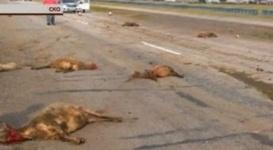 В СКО водитель насмерть сбил стадо баранов на большой скорости