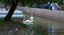 """Ситуацию с """"голодными лебедями"""" у фонтана """"Акку"""" разъяснили в зоопарке Алматы"""