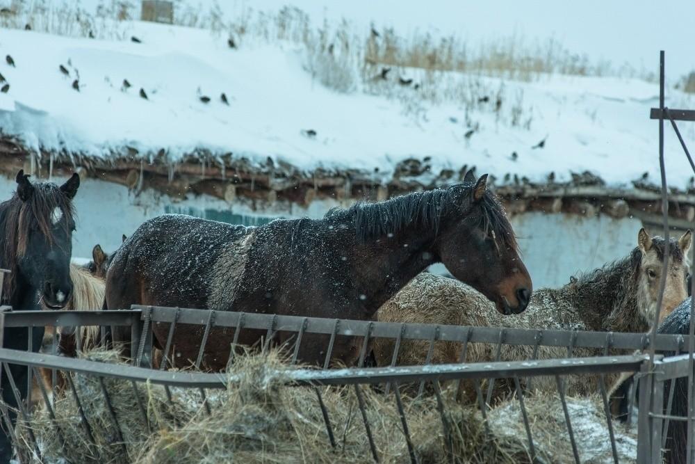 павлодарские коневоды